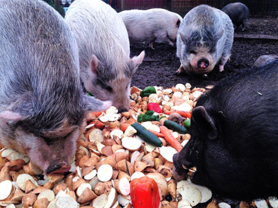 Out to Pasture Sanctuary tenants enjoying a Sunday repast